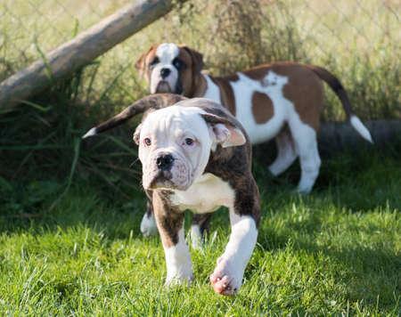 American Bulldog puppy on nature 스톡 콘텐츠