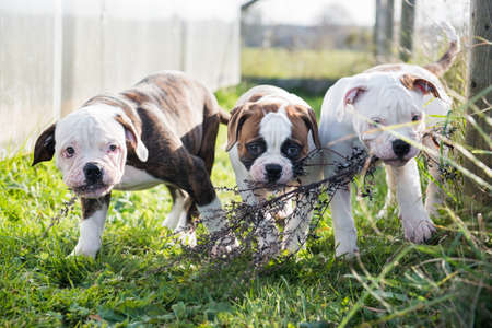 American Bulldog puppies are playing on nature 스톡 콘텐츠