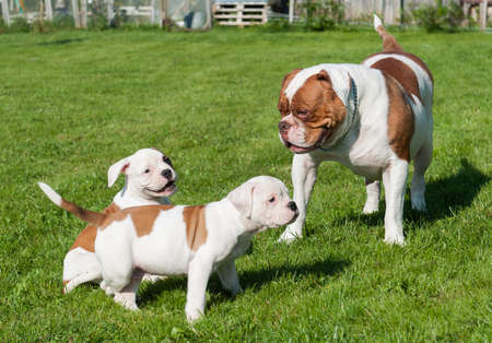 American Bulldog puppies with mother are playing
