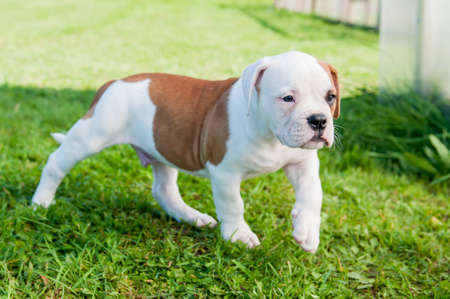 American Bulldog puppy on nature in the yard