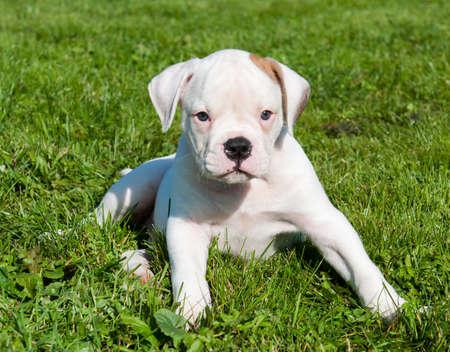 white American Bulldog puppy dog on nature 스톡 콘텐츠