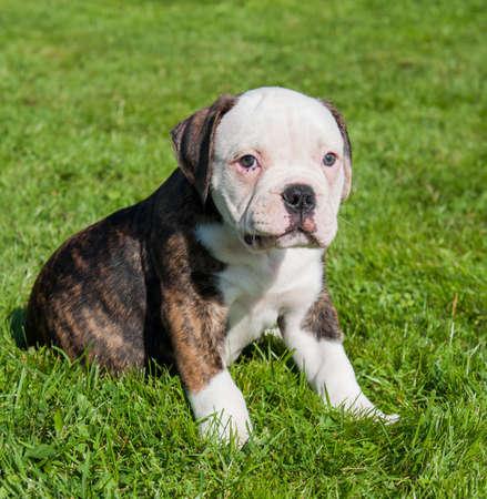 American Bulldog puppy on on green grass