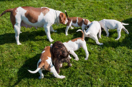 Funny nice white American Bulldog puppies are eating