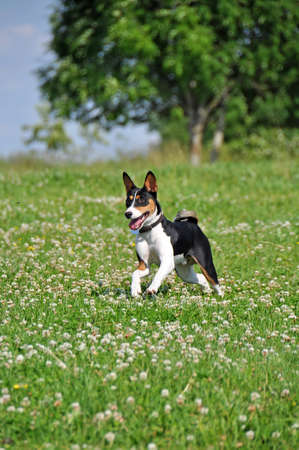 tricolor basenji dog running outside on green grass Banque d'images