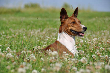 brindle Basenji dog in a field with flowers