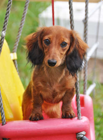 long haired Dachshund rabbit sitting on a swing