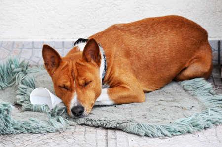 Red basenji dog is sleeping on the floor 스톡 콘텐츠