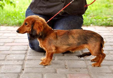 Dachshund Long-haired dog stand on a leash