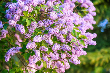 Branch of purple lilac flowers with the leaves 免版税图像