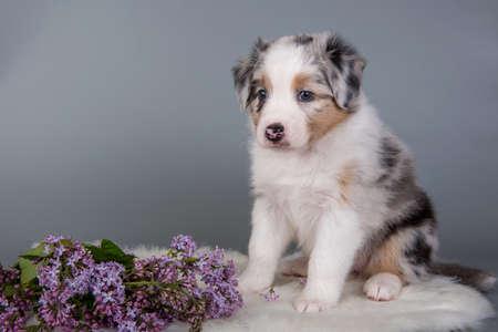 Red Merle Australian Shepherd puppy lilac flowers