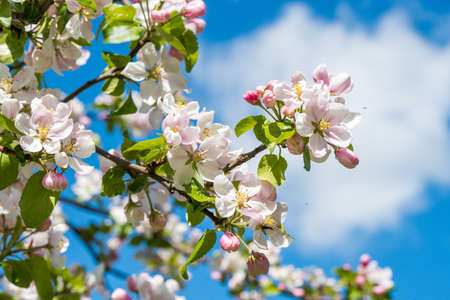 Apple tree blossoms in the sunlight, close-up.