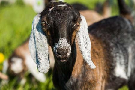 south african boer goat doeling portrait on nature