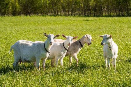 herd of white goats in green grassy meadow Archivio Fotografico