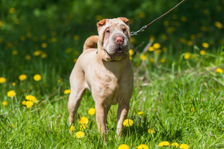 Shar Pei dog on a leash in green grass background Archivio Fotografico