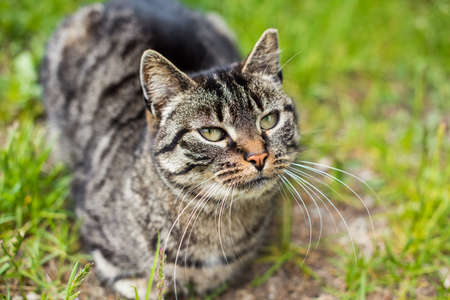 Portrait of a gray tabby cat with long whiskers. Archivio Fotografico