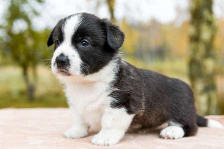 Welsh corgi pembroke puppy dog posing outside