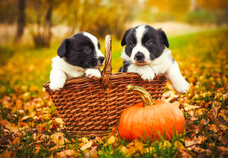 Two corgi puppies dogs with a pumpkin in the basket