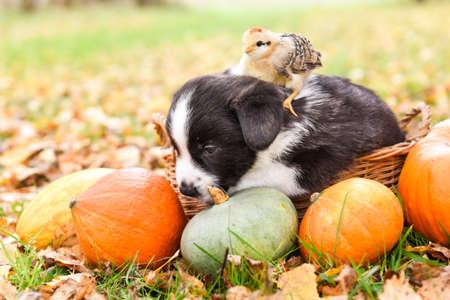 Corgi puppy dog with chicken and pumpkin in basket Archivio Fotografico