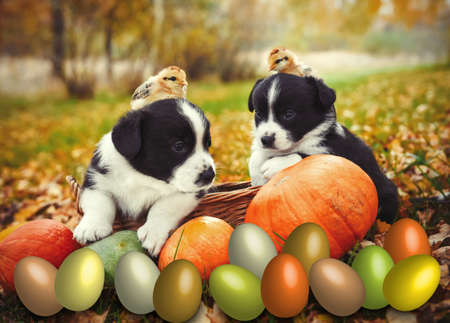 corgi puppies dogs with a pumpkin in the basket on an autumn background Archivio Fotografico