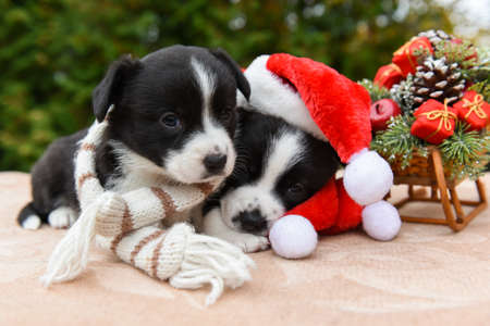 Welsh corgi pembroke puppies dogs in santa hat