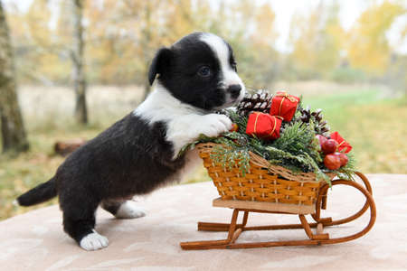 Welsh corgi pembroke puppy and sled with gifts