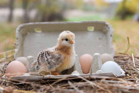 Little chicken in egg box with eggs on Easter