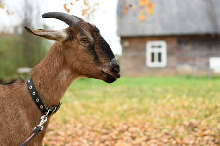 Goat is standing near the house in the village