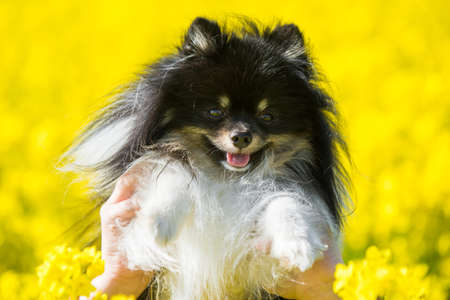 Dog pomeranian and yellow field of rape flowers