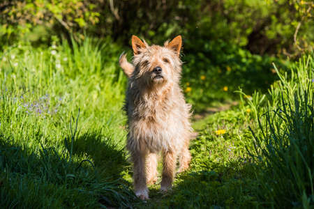 red mixed breed dog standing on green grass