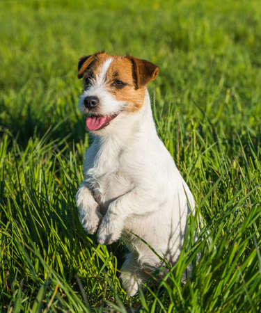 Jack Russell Dog sits on the green grass smiling