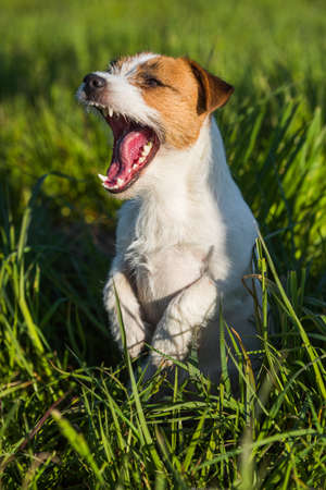 Jack Russell Dog smiling on the green grass