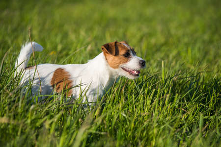 Jack Russell Dog is running on the green grass Archivio Fotografico