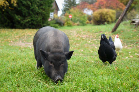 Funny black Vietnamese pig in the yard in the village