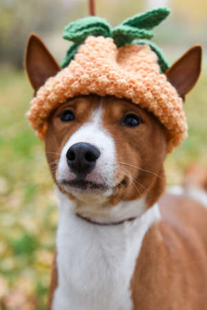 Basenji dog in a funny knitted hat pineapple Archivio Fotografico
