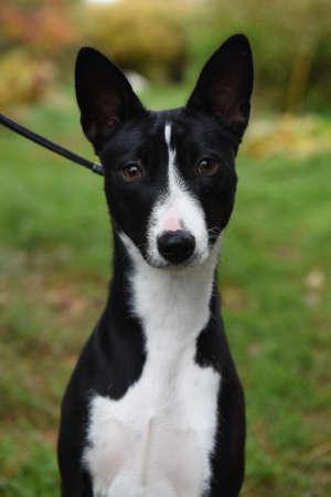 Black and white Basenji dog portrait on nature Archivio Fotografico