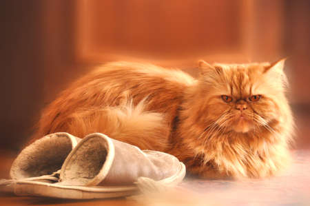 Red cat sits next to a pair of slippers