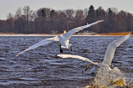 Two white swans flies over lake blue water.