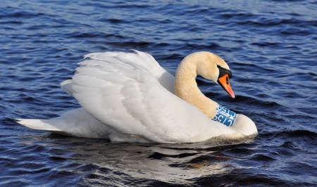 White Swan swimming at blue water. Swans, genus Cygnus Archivio Fotografico