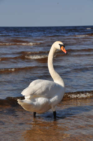 White Swan swimming at blue sea water.