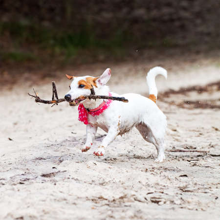 Jack Russell Terrier dog plays with big stick Archivio Fotografico