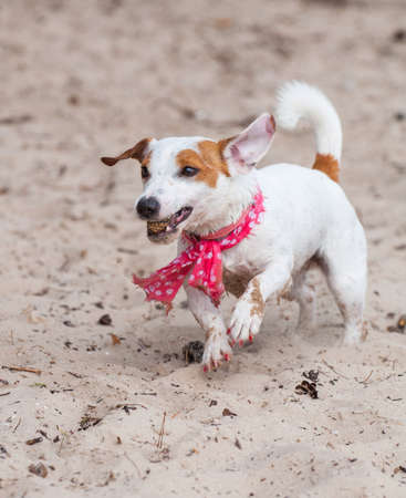 Jack Russell Terrier dog is playing with cone