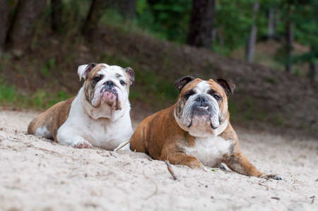 Two English Bulldog dogs sitting on the sand