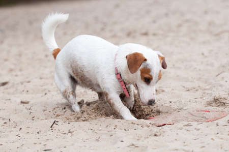 Jack Russell Terrier dog digging a hole on the beach Archivio Fotografico