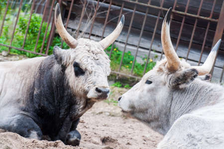two Hungarian grey cattles cows lying on the ground
