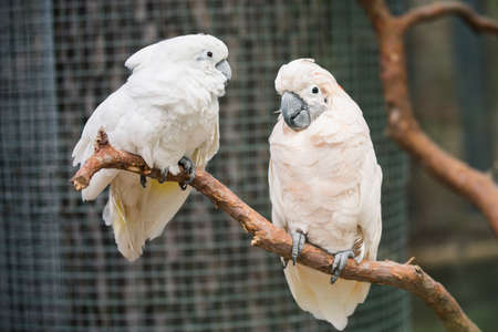 Lovely couple white cockatoos parrots on branch Archivio Fotografico