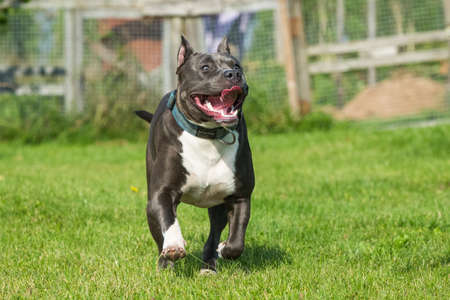 cute Blue hair American Staffordshire Terrier dog  running on the grass