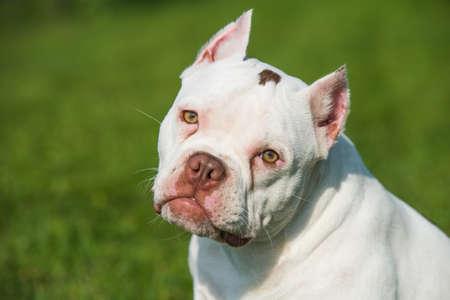 American Bully puppy dog sitting on green grass Фото со стока