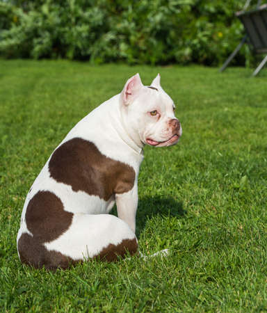 American Bully puppy dog sitting back on green grass