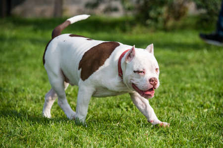 American Bully puppy dog in move on grass Фото со стока