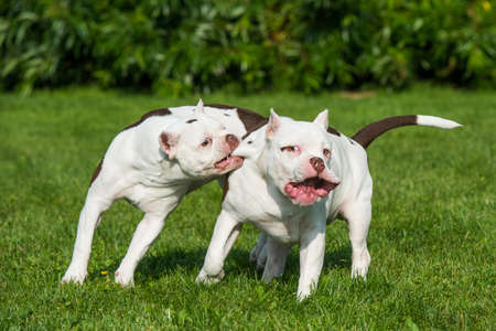 Two American Bully puppies are playing on a field Фото со стока